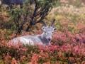 Mazā ziemeļbrieža Ailo lielais ceļojums foto 2