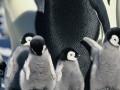 Ceļojošās ciltis 2: Pingvīnu gājiens foto 7